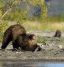 Весеннее пробуждение медведей